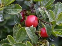 Diospyros lycioides subsp guerkei, Bluebush, Monkey Plum