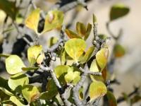 Gardenia volkensii subsp. spatulifolia, Bushveld Gardenia