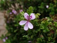 Pelargonium cordifolium, Heart-leaved Pelargonium