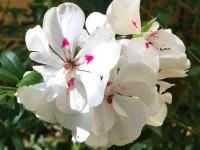 Pelargonium peltatum, Ivy Geranium
