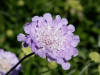 Scabiosa columbaria, Pincushion